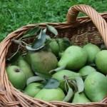 Korb mit Birnen
