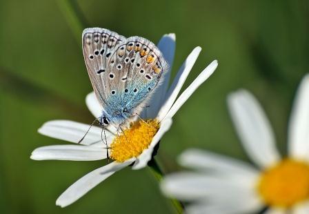 Schmetterling auf Gänseblümchen