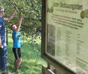 """Obst in Linz selbst pflücken - mit Hilfe der App """"Linz pflückt"""" weiß man, wo gerade etwas reif ist. Foto: Christl"""