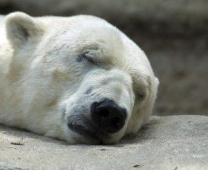 Das Fell des Eisbären ist eine ideale Dämmung. Die gekräuselten Haare bilden einen natürlichen Luftpolster, der auch bei Solarpanelen Anwendung findet. (Foto: Wolfgang Dirscherl /pixelio.de)